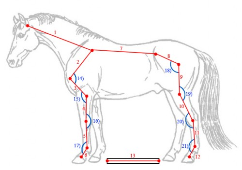the horse soundness and conformation essay Conformation evaluation of horses 2007 stephen r schafer, edd university   soundness = useful for a certain purpose, as a result a horse may be sound for  one purpose and not for another purpose examples  conformation---summary.
