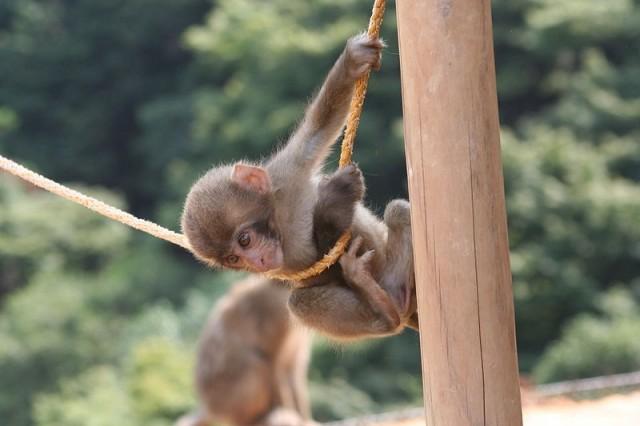 800px-Iwatayama_Monkey_Park_baby_monkey