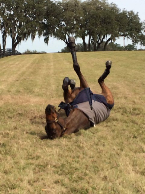 EN Horse of the Year, Donner, shows his appreciation of the warmer weather down south. Photo from the Lynn Symansky Eventing Facebook page.