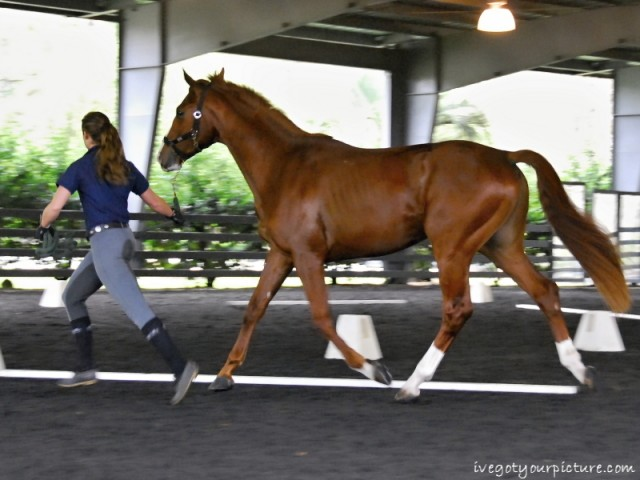 A three-year-old chestnut stallion struts his stuff at a YEH Symposium. Photo by Ivegotyourpicture.com
