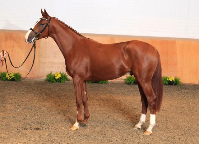 Chatsworth Stud stallion Rusticus (Favoritas-Rispe IV, Bartholdy). Photo courtesy of Tammo Ernst.