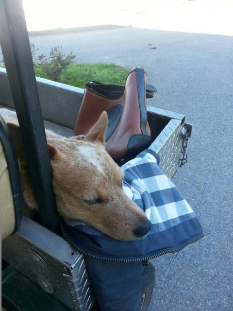 Tucker Tweed Manor Tote and a Red Heeler!