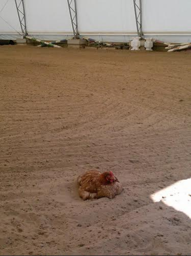 The chickens get quite mad when I use the indoor for riding.