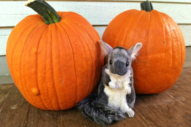 Chinch thinks these pumpkins need a face lift.