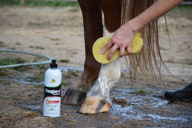 After using a sponge to lather up Ripley's leg with Fungasol shampoo, I left it sit for 20 minutes, and then thoroughly rinsed it off - Photo by Lorraine Peachey