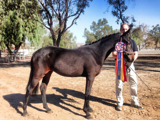 Simple Dreams DF, 2014 West Coast Future Event Horse Yearling Champion. Photo courtesy of Dragonfire Farm.