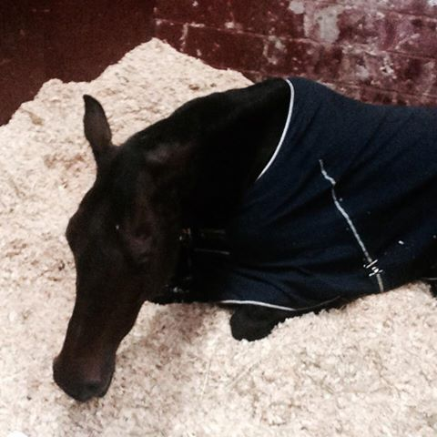 Veronica says traveling is a snooze. Photo via the USEF Eventing High Performance Facebook page.