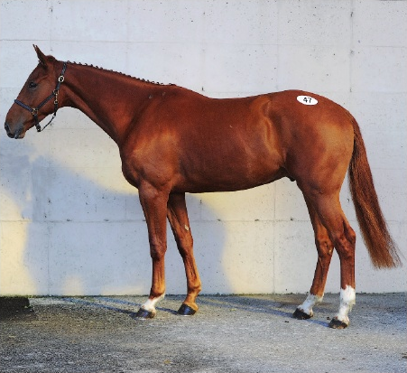 Unnamed 3-year-old gelding by Ramiro B. Photo via Go For Gold catalogue.