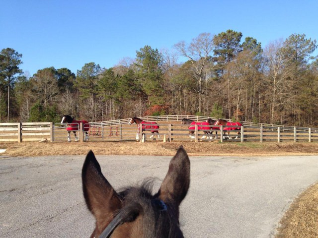 Talk about an awesome view! The Budweiser Clydesdales between the ears. Photo courtesy of Marjolein Geven