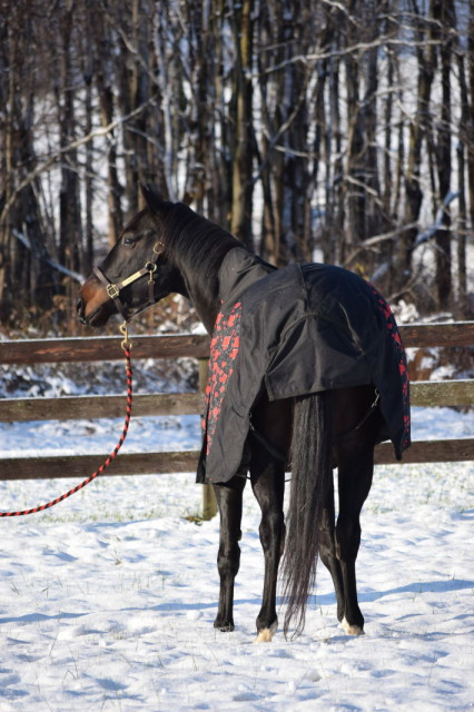 I also really like that the two adjustable belly straps of the blanket are able to be fastened on either side of your horse's belly - which makes them quite convenient to use. And, the blanket also features a protective tail flap as well - Photo by: Lorraine Peachey