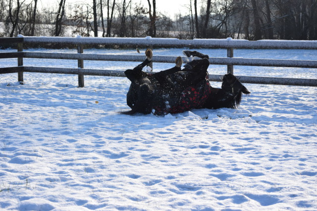 I've watched Rufus play in the snow. He runs. Drops it like it's hot. And rolls around a bit... Photo by: Lorraine Peachey