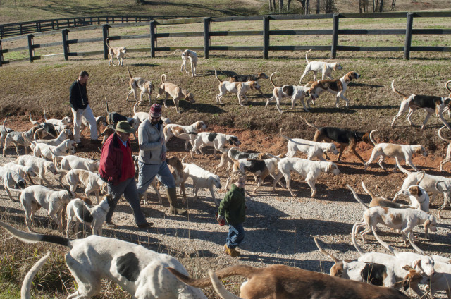 The Midland hounds enjoy a walk in the sunshine during the Boxing Day Family Hound Walk last Friday. Photo by Leslie Threlkeld