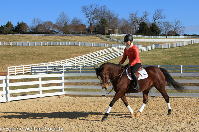 Maddie working at the Equine Welfare Society, slowly turning into a real horse! Photo courtesy of the EWS.