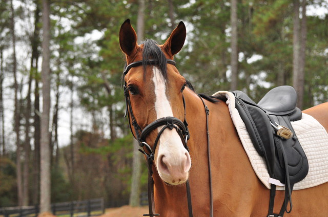 Fernhill Splish is a half-sister to Fernhill Splash, who is currently competing at Intermediate with Julie. Photo by Leslie Threlkeld