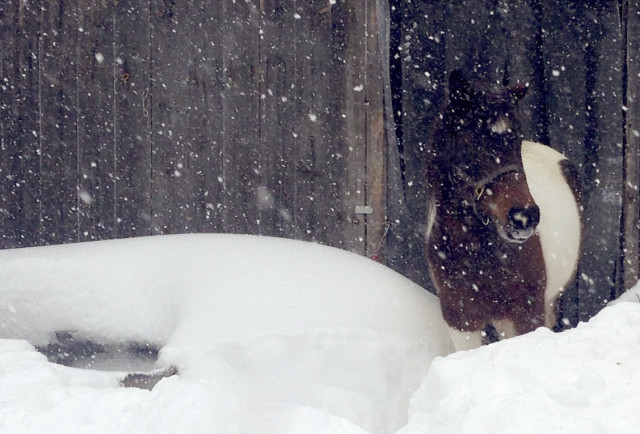 My horse, Maggie, surveys her paddock during the first blizzard on January 27th