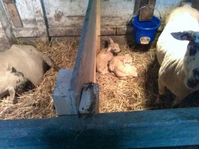 The ovine maternity ward.