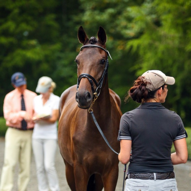 The ¼ Connemara filly, Brambleridge Truth or Dare, at a recognized USEA FEH event in Georgia. Trudy is by the Thoroughbred stallion, Salute the Truth and out of a Halfbred mare by Grange Finn Sparrow.