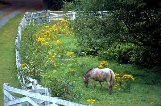 Are there weeds in your pasture? Creative Commons photo