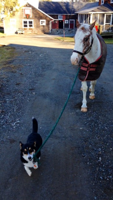 Every morning, Emma's corgi Snips leads Salty out to her paddock. Photo courtesy of Emma Lomangino.