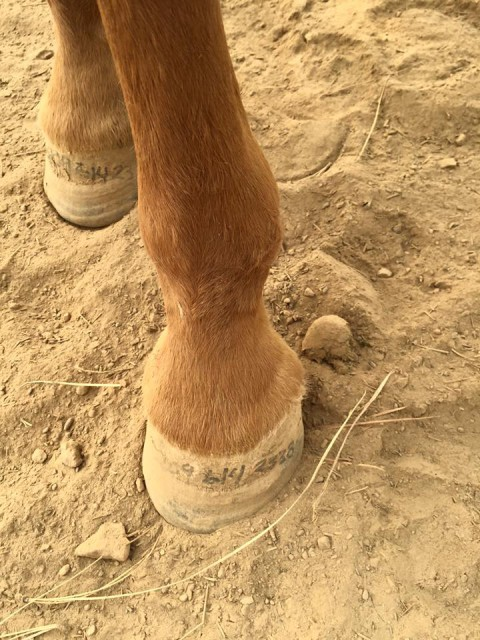 Oakdale Equine Rescue Board Member Mary Smith prepared her horses for evacuation by writing her number on their hooves and painting it on their bodies. Photo from the Oakdale Equine Rescue Facebook page.