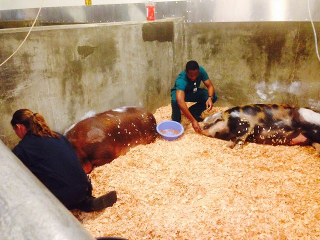 Two large rescued pigs, Wilbur and Sophie, now being treated at UC Davis Veterinary School for smoke inhalation.