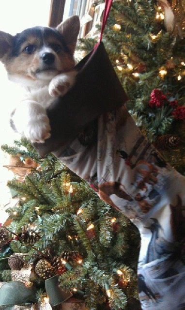 A very cute corgi hanging out waiting for Christmas. Photo by Dave Taylor.