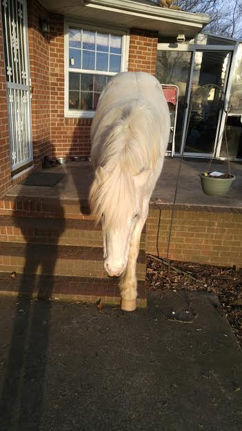Ryder's pony Marshmellow Fellow politely using the steps to exit the back patio! Photo from Wendy Schmitt