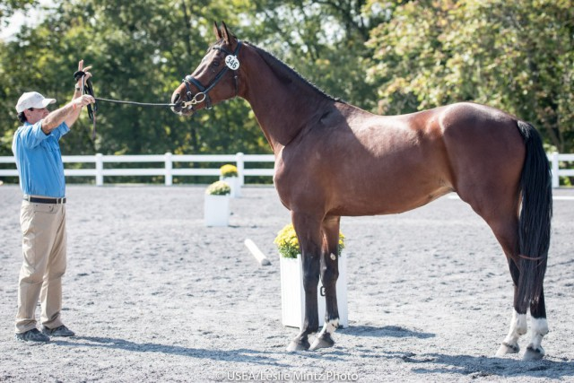 Wise Pirello de Bel, 3-year-old Colt Winner and Overall 3-year-old Winner at the 2015 East Coast Future Event Horse Championships. Photo by USEA/Leslie Mintz, used with permission.