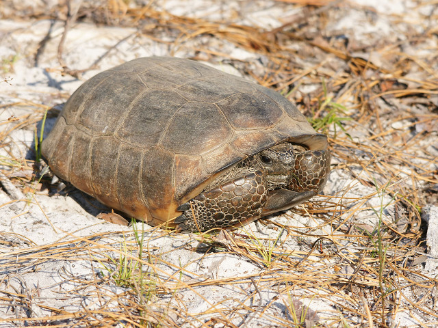 The endangered Gopher Tortoise is one of Red Hills' most popular inhabitants. Photo: Creative Commons License.