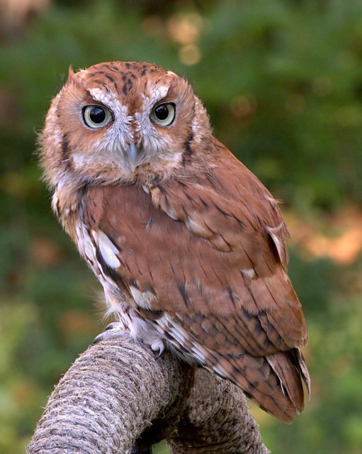 Little Screech Owl. Photo: Creative Commons