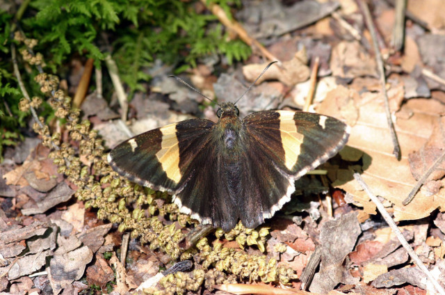 The elusive golden banded-skipper. Photo: Creative Commons