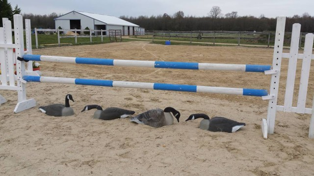 Or even this....geese....really? I thought my horses would be terrified and they didn't even notice them!