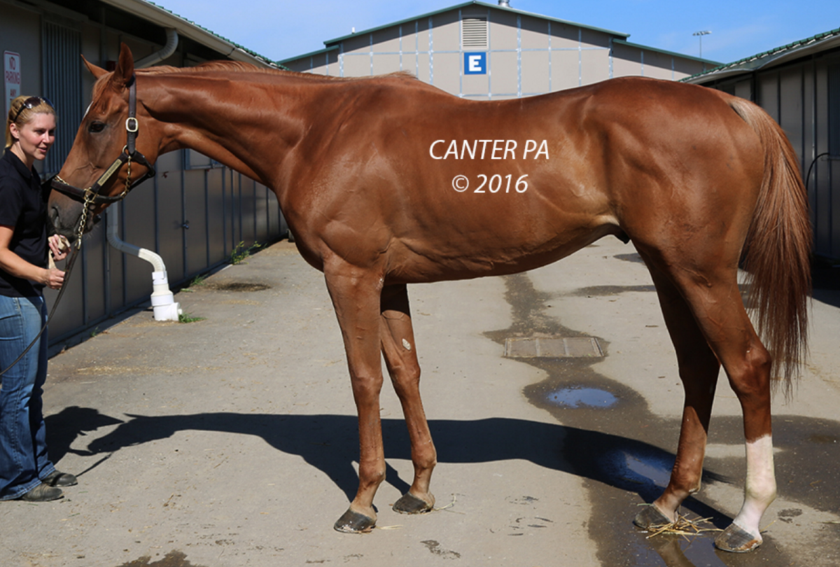 Somebody PLEASE go snatch up this guy, Succesful Brothers (Invasor (ARG) - Contagious (GB), by Polar Falcon). Ooh la la! Photo via CANTER PA.