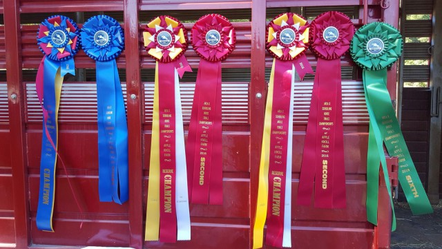 Highview Farm took home quite the haul. Look at the size of these! Photo via Schooling Horse Trails Championship on Facebook.