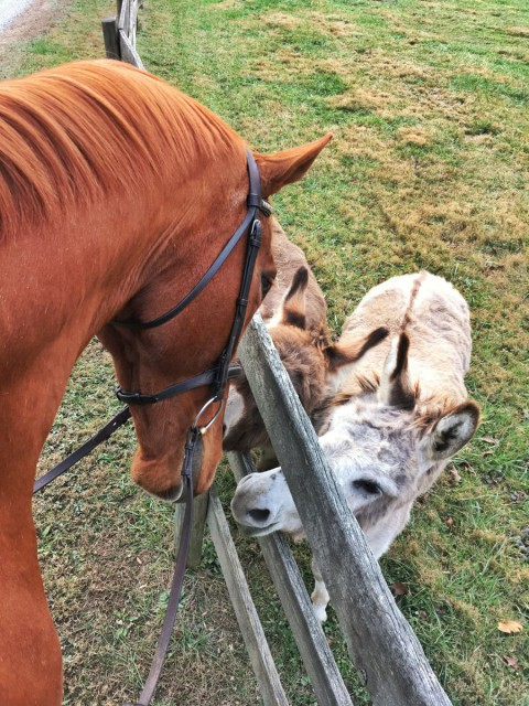 Leo is thankful for donkey friends that live down the road. Photo by Kate Samuels.