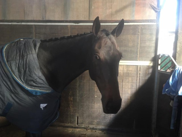 Tokyo Phil is unimpressed with his plaist, now he's an affiliated event horse. Photo by Lucy McCarthy.