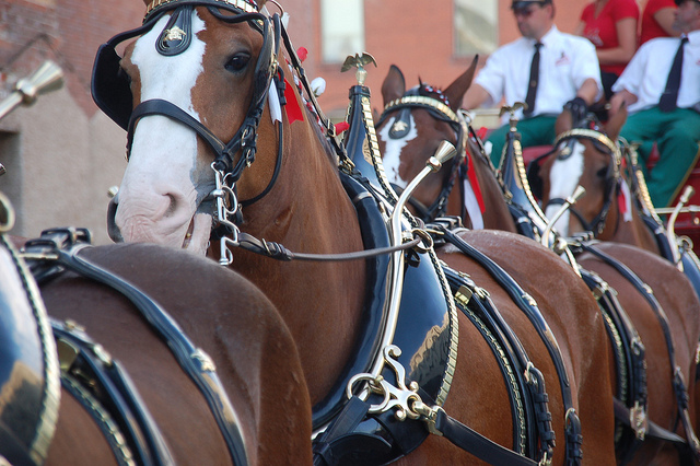 The Budweiser Clydesdales are coming to Red Hills! Photo by Robert Spiegel/Creative Commons.