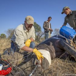 Paul Swart, left, and HRH Prince Harry, right, assist with the darting and collaring of a black rhino in Botswana. Photo by Rhino Conservation Botswana.
