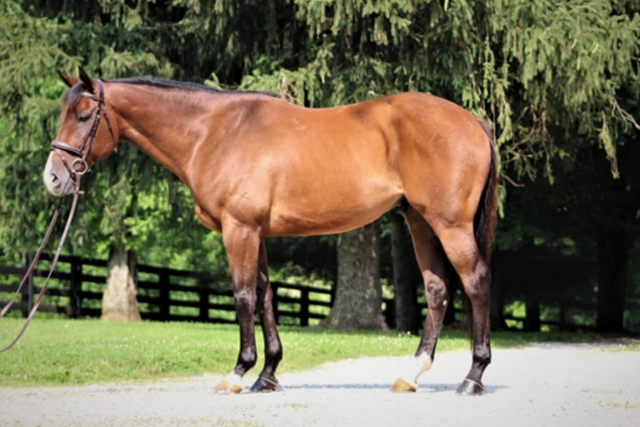f6ff81afe Bethel Wildcat, a 6-year-old 16.1-hand gelding (Discreet Cat x Excess's  Best, by In Excess), is one event prospect being offered for sale through  the ...