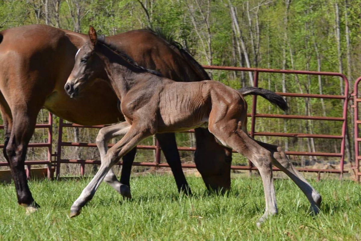 Talento local: Por meio de parceria, mais crescimento é possível para a criação de cavalos esportivos americanos | Nação de eventos culturais 2