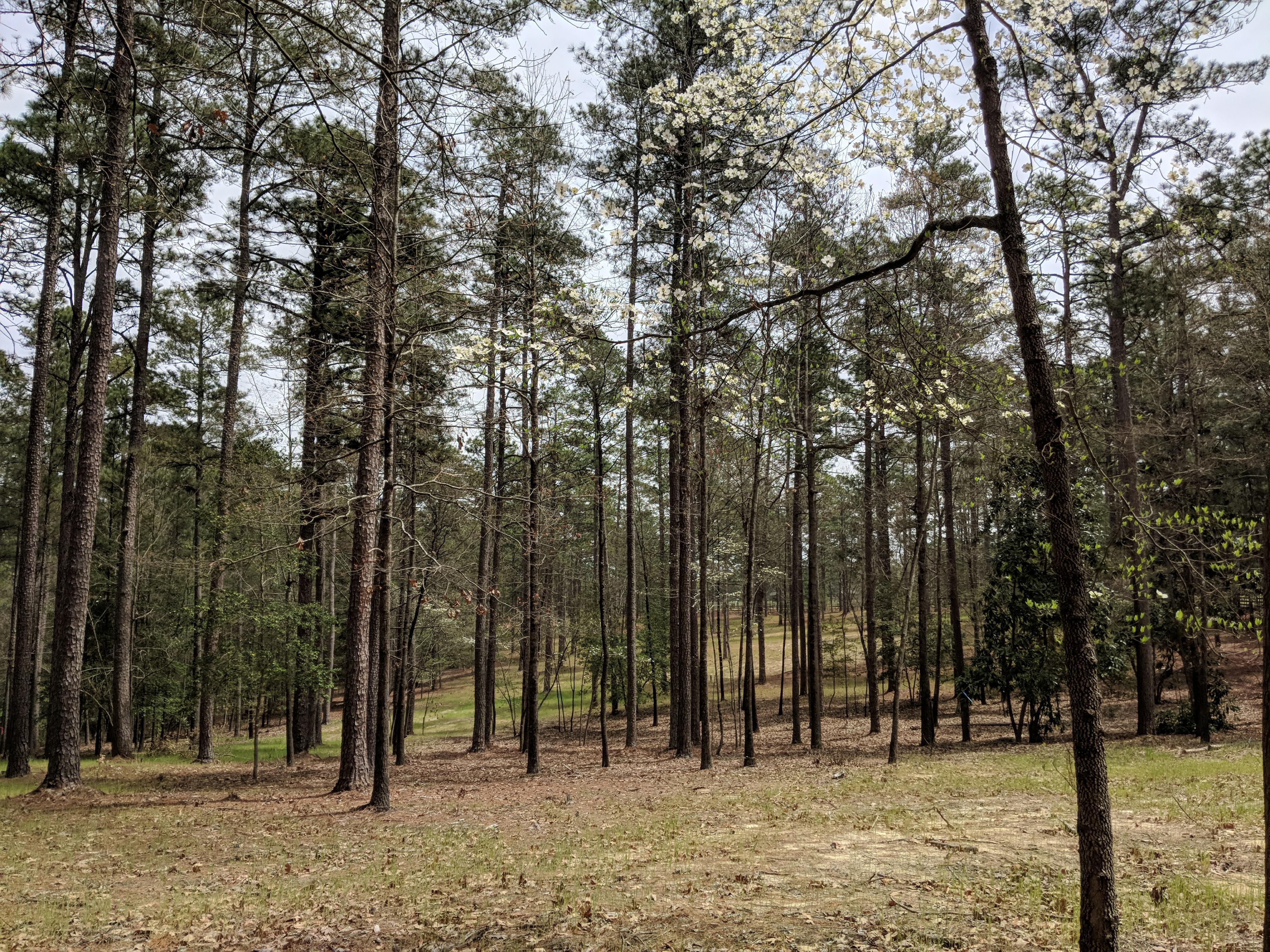 Pine Needles 5.jpg