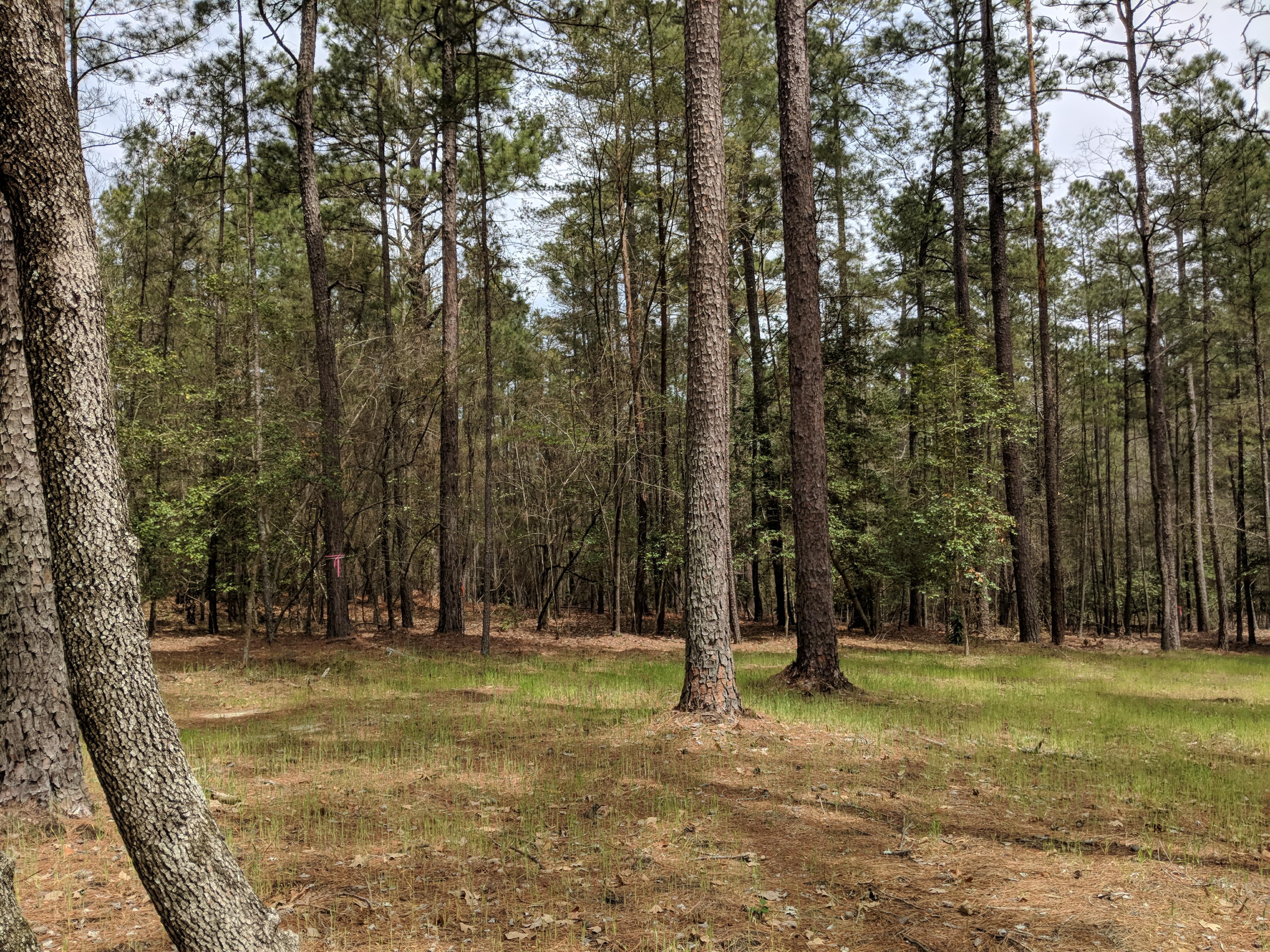 Pine Needles 6.jpg