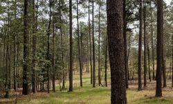 Pine Needles 7.jpg